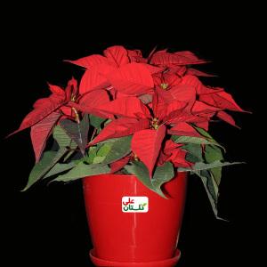 Euphorbia-pulcherrima-Golestan-Ali-Iran