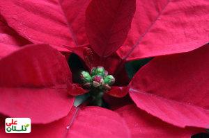 گلهای ریز وسط براکتهها در واقع گلهای اصلی از نوع گل آذین سیاتیوم هستند