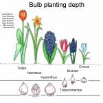 bulb-planting-depth-time