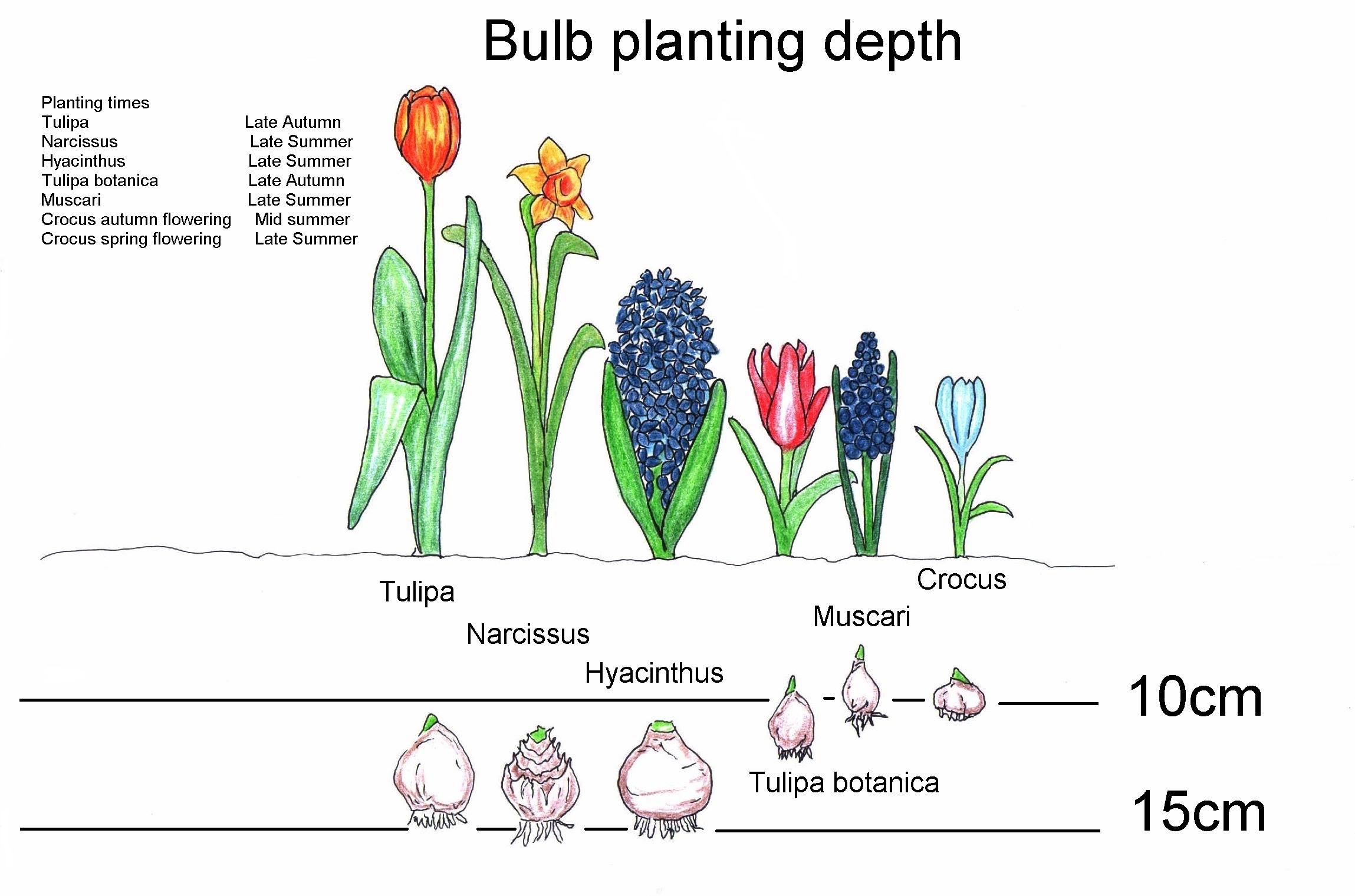 Когда сажать тюльпаны и нарциссы в подмосковье 82