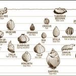 planting depths for bulbs