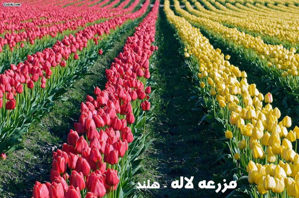 как растет тюльпан в картинках