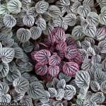 پپرومیا رنگی بین پپرومیاهای نقرهای