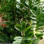 زامیاکولوس زامیافولیا - نخل زامبیا
