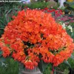 گل بریده گیاه خورشیدی