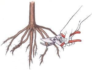 [تصویر:  pruning-root.jpg]