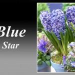 سنبل بنفش رقم Blue Star
