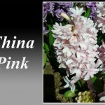 سنبل صورتی روشن رقم China Pink