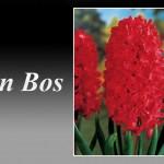سنبل قرمز رقم Jan bos
