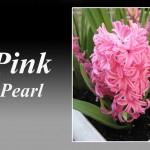سنبل صورتی رقم Pink Pearl