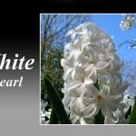 سنبل سفید رقم White Pearl