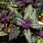 گیاه ژینورا - در برخی کتابها به شب تاب نیز نامیده شده