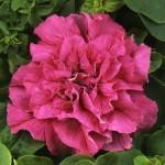 cascade pink