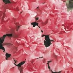 cascade pink soft