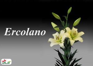 لیلوم سفید/کرم رقم Ercolano