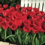 tulipa-3