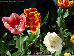 گلهای لاله در بهار 91  لاله برایت پروت که پارسال عرضه میکردیم واقعا رقم عجیبی بود و در شاخه گلدهنده گاهی انشعابات دیگری هم داشت و یک پیاز از یک ساقه گلدهنده چند غنچه میداد.