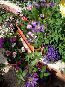 در این تصاویر پیچ کلماتیس را مشاهده میکنیم. پیچ بسیار جذابی که در ایران باید بهش بیشتر بپردازیم. گلهای آبی لوبلیا در سمت راست  تصویر، گیاه استئوسپرموم، اطلسی صدبرگ, ایمپشن (حنا)، پریوش و ...