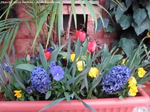 لاله سرخ رقم Red impression سنبل رقم Blue Star  واقعا گل آرایی زیبایی از گیاهان پیازی و فصلی ماننده بنفشه در کنار هم ایجاد کردهاند. زنده باید آقای پریرخ.
