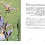 صفحات مربوط به زنبق در کتاب لاله ها و زنبقها ایران
