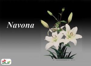 Navona-Golestan-Ali