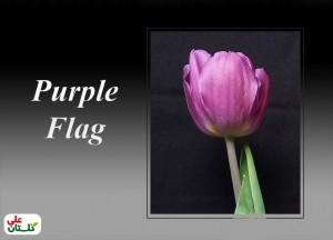 لاله بنفش رقم Purple Flag (تصویر از تولیدات گلستان علی برای نوروز 91)