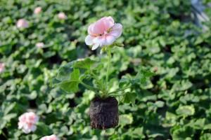 بذر شمعدانی جوانه زده درون قرص فشرده جیفی