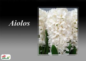 آیولوس یک رنگ سفید خاص هست که حس میکنید گلچهها در مقابل نور برق میزنند. در ترجمه میتواند به سفید بودن عاج فیل یا دندانهای براق اشاره کرد