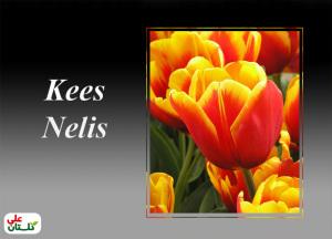 لاله سرخ با لبههای زرد یک ترکیب رنگ زیبا و گلهای درشت و عالی