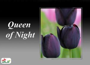 لاله مشکی پرطرفدارترین رنگ گل لاله در بین باغبانان، که نوعی بادمجانی تیره و براق است