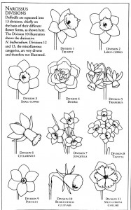 رده بندی نرگسها بر اساس شکل ظاهری گلهایشان