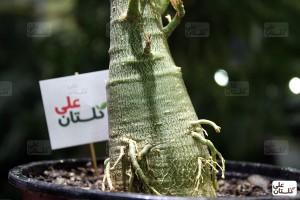 تنه یک گیاه آدنیوم سه ساله