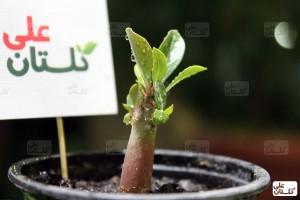 گیاهچه بذری آدنیوم بعد از حدود 4 ماه