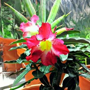 نمونه گلهای آدنیوم