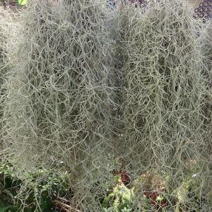 Tillandsia usneoides خزه اسپانیایی Spanish moss