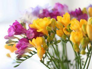 freesia-refracta-cultivars