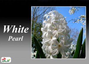 سنبل سفید رقم وایت پیرل شاید بهترین رقم سنبل سفید در بین تمام سنبلهاست و سفیدی خاص و براقی دارد